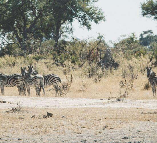 bushwalk-zebras-mokoro